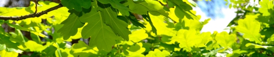 chene feuilles printemps