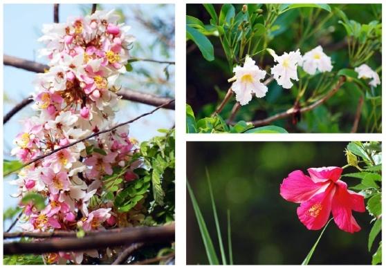 fleurs hibiscus CREST Bangalore