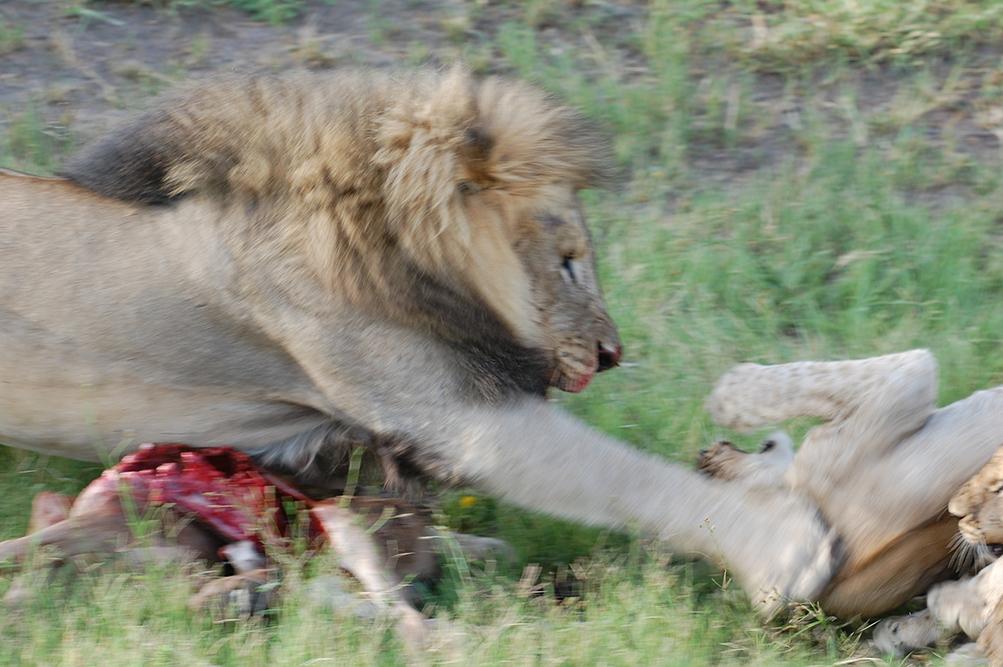 lion defense nourriture